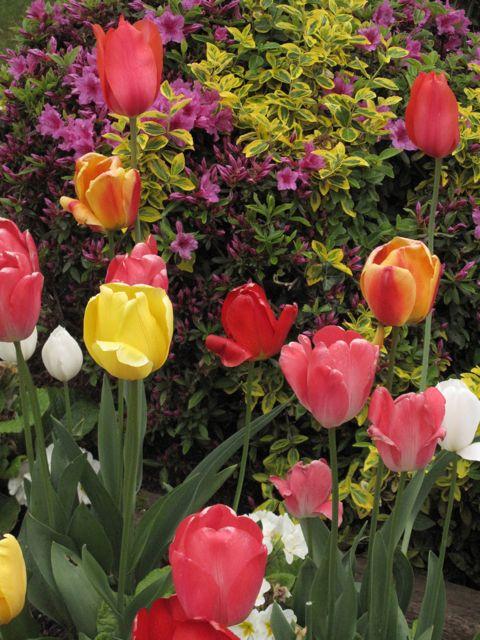 Tulips, march 23, 2009 (Victoria, BC)